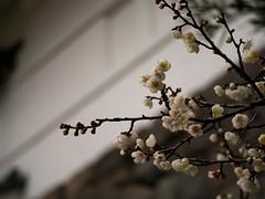 P2063803 (hiroki.yano) Tags: castle japanese apricot