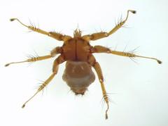 dorsal view of bat fly parasite (Nycteribiidae), Bat Cave, Naracoorte Caves, South Australia