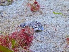 Nudibranch 3 (someofmypics) Tags: vacation philippines bikini manila scubadiving wickedweasel ikelite panasonictz60