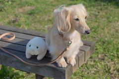 IMG_0588 (yukichinoko) Tags: dog dachshund 犬 kinako ダックスフント ダックスフンド きなこ