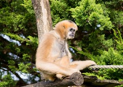 White cheeked gibbon 271215 04 (Leigh James (Fidgitydigit)) Tags: primate gibbon whitecheekedgibbon zoodelaflechefrancezoo