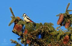 Woodpecker (kaprysnamorela) Tags: tree bird cone greatspottedwoodpecker dendrocoposmajor nikond3300
