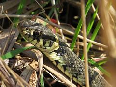 Grass Snake (Natrix natrix) (Julian Hodgson) Tags: reptile snake cambridgeshire reptilia grasssnake woodwaltonfen nationalnaturereserve natrixnatrix greatfen