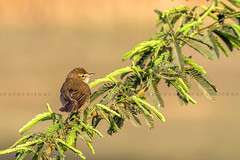 Booted Warbler (Tapas Biswas.JU) Tags: morning india bird birds animal canon eos outdoor booted 7d perch hyderabad f4 warbler 300mmf4
