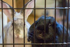 Can we come out and play? (GlobalGoebel) Tags: rescue pet pets white house 3 black rabbit bunny bunnies animals canon eos bars mark iii joe cage caged 5d rabbits zuzu rescued houserabbit 70200mm lop bonded mark3 houserabbits minilop markiii canonef70200mmf28lisusm canoneos5dmarkiii