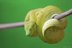 Australian Green Tree Python (Morelia Viridis) (Reptilezz) Tags: tree green nature animal james nikon rainforest branch snake wildlife brodie australian australia 300mm jungle stick python nikkor f4 reptiles australasian gtp greentreepython d7100 reptilezz brodiejames