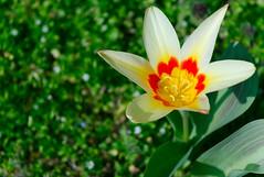 Tulipa (rozsaphotography) Tags: flower slr nature beautiful leaves digital leaf spring nikon hungary good tulip mm nikkor dslr 18 plantae 55 blume termszet vr virg tulipa frhling magyarorszg liliaceae tulipn liliales liliopsida magnoliophyta nvny digitlis d3300 lilioideae