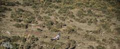 buitre leonado (monky.inc t-shirt) Tags: espaa animal fauna landscape flora asturias ave zorro llanes buitre rapaz asturies wildness salvaje carroa