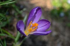 Nettare degli Dei (theofficialcarena) Tags: flower macro nature flora crocus fiori fiore viola arancione
