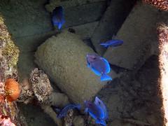 PC070426_bluetangs (Skeptic14) Tags: blue underwater grand scuba diving snorkeling cayman tang