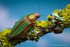 """The Golden Buprestid"" - Buprestis aurulenta - Salem, Oregon (Thomas Shahan) Tags: west macro closeup oregon bug insect shiny pentax thomas metallic united beetle science pacificnorthwest iridescent states entomology macrophotography coleoptera shahan buprestid metallicwoodboringbeetle"