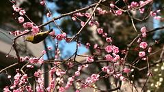 IMG_0437_2 (downatthezoo) Tags: hiroshima shukkeiengarden