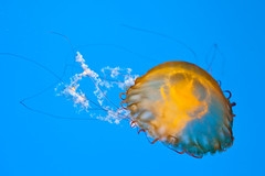 Pacific Sea Nettle Jelly (ramislevy) Tags: aquarium baltimore nationalaquarium chrysaorafuscescens pacificseanettle