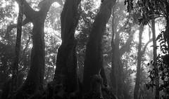 Ancient Grove (B&W) (brentflynn76) Tags: old trees white mist black tree nature monochrome misty fog ancient grove spooky beech antarctic gondwana gondwanaland