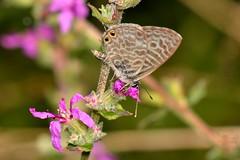 Leptotes pirithous (Linnaeus, 1767) (Jess Tizn Taracido) Tags: lepidoptera lycaenidae papilionoidea polyommatinae leptotespirithous polyommatini