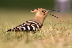 Hoopoe, Wiedehopf, Upupa epops @ HaYarkon, Tel Aviv, Israel, 2016, urban nature (Jan Rillich) Tags: park urban sun nature beautiful beauty animal fauna digital photography eos israel photo telaviv spring flora foto fotografie image jan wildlife picture free sunny urbannature april guest upupaepops hoopoe yarkon 2015 animalphotography hayarkon wiedehopf nahalhayarkon janrillich rillich