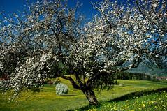 Spring.... (JohannesMayr) Tags: flower tree germany bayern deutschland bavaria spring frühling blüten obstbaum oberstaufen weissach hündle