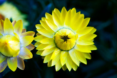 Brothers in flora (Pensive glance) Tags: plant flower nature fleur plante aster everlasting immortelle