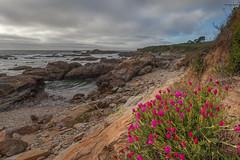 Bean Hollow Flowers (gr7361) Tags: california flowers beach coast state bean wildflowers hollow sanmateo visipix
