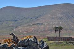 Eguzkitan (Erre Taele) Tags: fuerteventura chipmunk canaryislands ardilla islascanarias urtxintxa katagorria