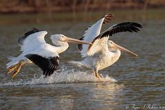 Rubino American White Pelican landing 20160326 Lake Hodges CA 108 (Ryan Rubino) Tags: ca white lake bird water pelican landing american impact touchdown hodges braking pelecanus erythrorhynchos