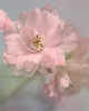 Cherry Tree Blossom (LBofcourse) Tags: blossoms flypaper