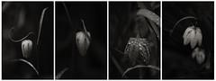 Spring Lilies (doug_r) Tags: morning washington dewdrops y dew et negre issaquah tigermountain 2014 whiteblanc noirblanco frittilarylilies snakeheadlilies 2016dtrosenoffallrightsreservedbwblack lauravalentecandelaclass