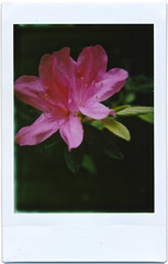 MiNT TL70 CLOSE UP LENS (Paul Chow Photography) Tags: china flower tlr hongkong bokeh fujifilm instantcamera sar instax instantphotography closeuplens instantfilm fujiinstax fujiinstaxmini instaxmini filmisnotdead twinlensreflexcamera fujifilminstaxmini istillshootfilm instantphotographer mintsx70 mintcamera filmneverdied 31662hk mintcloseuplens instantflex instantflextl70 mintinstantflextl70 minttl70lensset tl70closeuplens twinlensreflexinstantcamera mintinstantflex