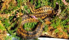 Adder (Vipera berus) (Nick Dobbs) Tags: reptile snake viper adder venomous vipera berus