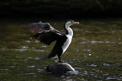 Zealandia ~ Shag (whitebear100) Tags: newzealand nz wellington northisland shag zealandia