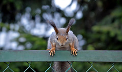 #Squirrel: Ooh shieeeeet... my nut fell off!!! :-( (L.Lahtinen) Tags: cute nature smile animal fence suomi finland spring furry squirrel funny wildlife adorable orava nikkor redsquirrel luonto nikond3200 sp kurre suloinen 55300mm