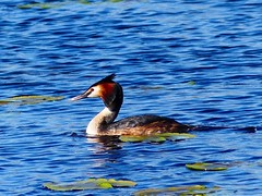 P1020756a Westhay Moor Great Crested Grebe (Photos-Tony Wright) Tags: uk wild bird nature wildlife great somerset naturereserve april fowl moor crested levels grebe wildfowl 2016 westhay