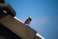 Dachvogel