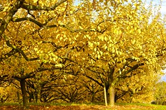 Herbst (izoll) Tags: sony herbst gelb landschaft bume herbstfarben herbstfrbung landschaftsaufnahmen alpha380 izoll