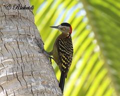 Pic d'hispaniola femelle (ricketdi) Tags: bird pic hispaniolanwoodpecker melanerpesstriatus birdsofdominicanrepublic picdhispaniola oiseauxdelarpubliquedominicaine