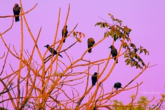 go to roost (@my_inner_horses) Tags: sunset india birds evening goa roost