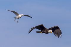 Blah blah blah...... (Paul Rioux) Tags: bird nature waterfront eagle seagull gull baldeagle victoria vancouverisland raptor westcoast avian colwood westshore esquimaltlagoon prioux