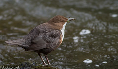 Dipper (Danny Gibson) Tags: wild bird nature water birds river feeding wildlife birding aquatic birdwatching birder sping dipper birdwatcher naturephotography birdlife birdphotography dippers wildlifephotography canon400mmf56l canoneos7d canon7d dgpixorguk