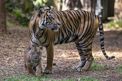 Rare Tiger Cubs Debut at the San Diego Zoo Safari Park (San Diego Zoo Global) Tags: travel baby cute tourism nature animals zoo sandiego tigers cubs endangered rare sumatran safaripark