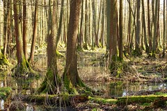 in the swamps (JoannaRB2009) Tags: las trees light shadow nature forest landscape spring poland polska swamps lowersilesia dolnyśląsk dolinabaryczy riverbaryczvalley lasymilickie