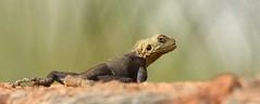 """You talkin' to me?"" (http://rgamboias.birdsby.me) Tags: fauna wildlife lizards reptiles thegambia rpteis lagartos vidaselvagem agamalizard youtalkintome lzards upriver rosagambias wassustonecircle"