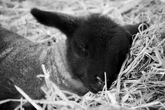 Sleepy Lamb (Mrs_Hadfield) Tags: cute nature beautiful spring nikon sleep farm straw lamb tatton d600
