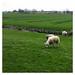 Sheeps in Kollmar2