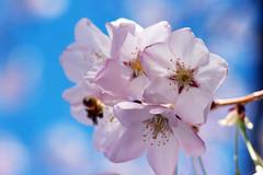 Bee Cherry (Karen McQuilkin) Tags: weather utah yahoo spring blossom app cherryblooms bloomtree karenmcquilkin beecherry