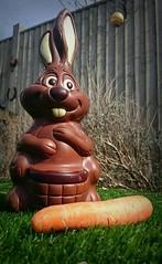 The Chocolate Easter Bunny (flailing DORIS aka Fur Will Fly) Tags: uk food rabbit bunny easter yum chocolate easterbunny