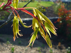 Acer palmatum Osakazuki (Jrg Paul Kaspari) Tags: leaves garden leaf spring acer blatt bltter garten frhling palmatum austrieb blattaustrieb wincheringen moderngarden osakazuki acerpalmatumosakazuki