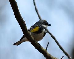 Yellow-rumped Warbler (Setophaga coronata) (Larry Wilkin) Tags: camera chicago bird nature animal greatlakes warbler yellowrumpedwarbler nokon pgoto springmigration nikond5200 nikonnikkor55300mm