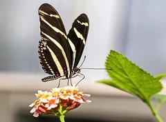 Small butterfly.. (Rolf Piepenbring) Tags: butterfly zoo krefeld schmetterling zookrefeld