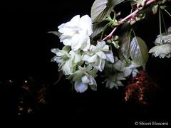 Cerasus serrulata Grandiflora (Shiori Hosomi) Tags: flowers plants japan night cherry tokyo nocturnal nightshot blossoms april  sakura   prunus rosales cerasus  2016  rosaceae   noctuary  flowersinthenight    noctivagant 23
