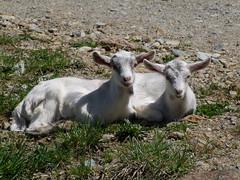 Mirabelle et Mafalda (Grand-Papp, charrette...) Tags: farm goats ferme auvergne cabras chvre massifcentral chevreaux hauteloire margeride chabre hautesterres lobe marjarida chabrit